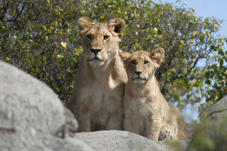 Lioness and lion cubs in Serengeti National Park, Tanzania, Africa photo