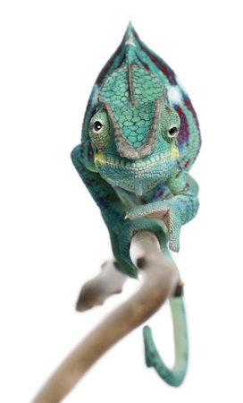 lizard: Panther Chameleon Nosy Be, Furcifer pardalis, delante de fondo blanco