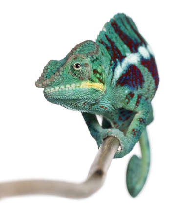 nosy: Panther Chameleon Nosy Be, Furcifer pardalis, in front of white background