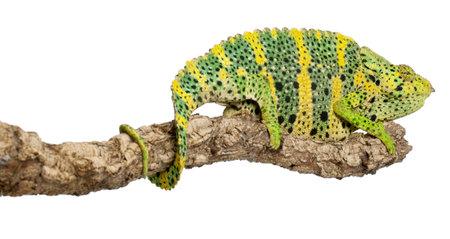 Mellers Chameleon, Giant One-horned Chameleon, Chamaeleo melleri, perched on branch in front of white background photo