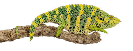 Mellers Chameleon, Giant One-horned Chameleon, Chamaeleo melleri, perched on branch in front of white background photo
