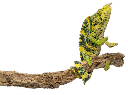 Mellers Chameleon, Giant One-horned Chameleon, Chamaeleo melleri, reaching up from branch in front of white background photo
