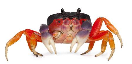 crustacea: Red land crab, Gecarcinus quadratus, in front of white background