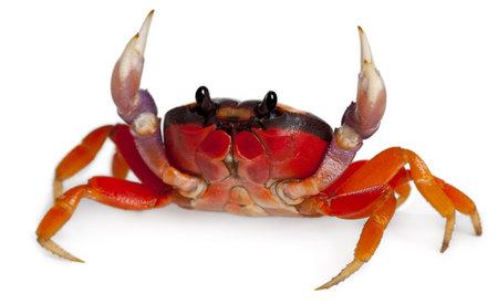 cangrejo: Cangrejo de tierra roja, Gecarcinus cuadrado, delante de fondo blanco