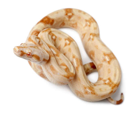 slithering: Albinos Boa constrictor, Boa constrictor, 2 months old, in front of white background