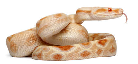 Albinos Boa constrictor, Boa constrictor, 2 months old, in front of white background photo