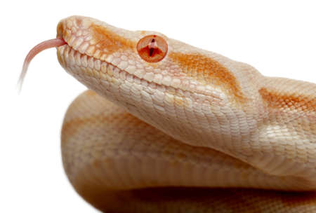 Close-up of Albinos Boa constrictor, Boa constrictor, 2 months old, in front of white background photo