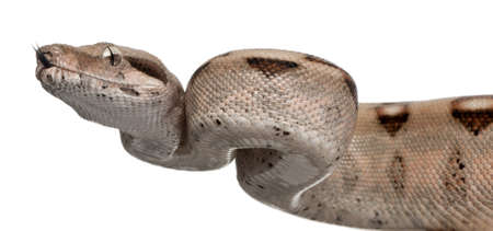 snake head: Salmon Boa constrictor, Boa constrictor, 2 months old, in front of white background