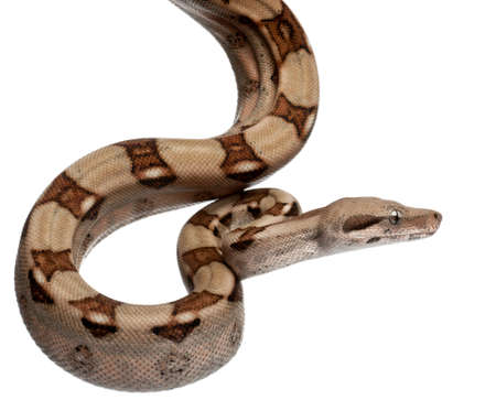 Salmon Boa constrictor, Boa constrictor, 2 months old, in front of white background Stock Photo - 11184522