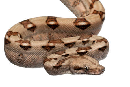 Salmon Boa constrictor, Boa constrictor, 2 months old, in front of white background Stock Photo - 11183566