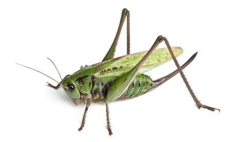 Female wart-biter, a bush-cricket, Decticus verrucivorus, in front of white background photo