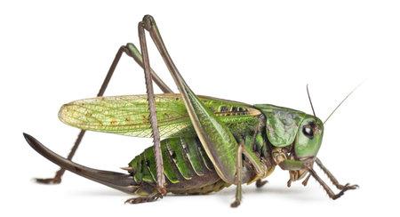 cricket: Femmina verruca-biter, un cespuglio-grillo, Decticus verrucivorus, di fronte a sfondo bianco
