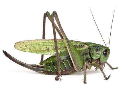 cricket insect: Female wart-biter, a bush-cricket, Decticus verrucivorus, in front of white background