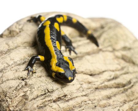 salamandra: Salamandra en la roca, Salamandra salamandra, delante de fondo blanco