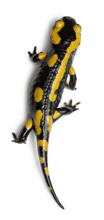salamander: Salamandra pezzata, Salamandra salamandra, di fronte a sfondo bianco