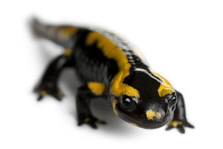 Fire salamander, Salamandra salamandra, in front of white background Stock Photo - 11187631