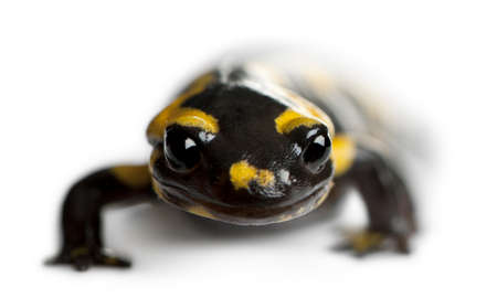salamandre: Salamandre, Salamandra salamandra, en face de fond blanc