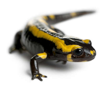 Fire salamander, Salamandra salamandra, in front of white background photo