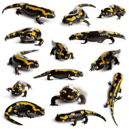 salamandra: Colección de fuego las salamandras, Salamandra salamandra, delante de fondo blanco