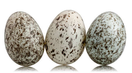 bird house: Three House Sparrow eggs, Passer domesticus, in front of white background