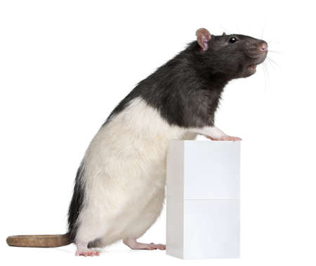 fancy box: Fancy Rat, 1 year old, standing against box in front of white background