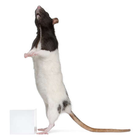 Fancy Rat, 1 year old, standing in front of white background photo