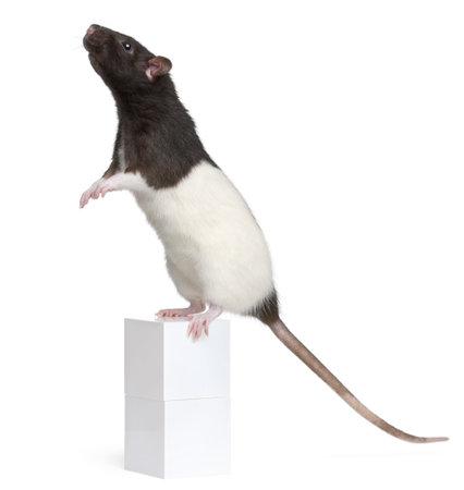 rata: Rata de lujo, 1 año de edad, de pie sobre la caja delante de fondo blanco