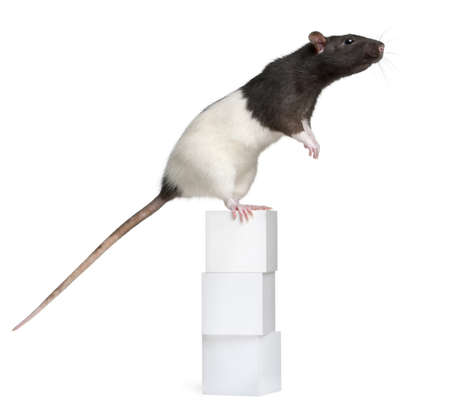 Fancy Rat, 1 year old, standing on boxes in front of white background photo