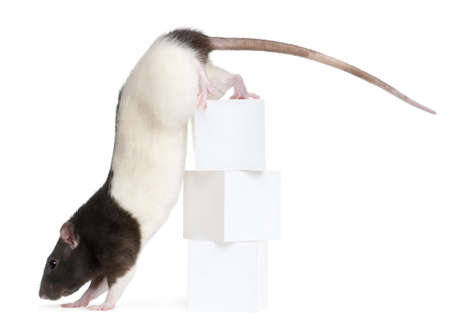Fancy Rat, 1 year old, climbing off boxes in front of white background photo