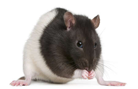 Fancy Rat, 1 year old, in front of white background Stock Photo - 11184625