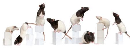 rata: Collage de las ratas de lujo, 1 a�o de edad, en las cajas delante de fondo blanco