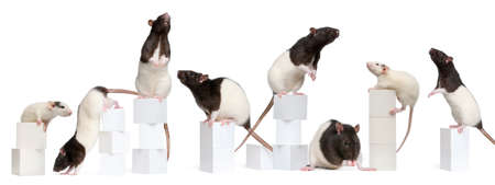rodent: Collage of Fancy Rats, 1 year old, on boxes in front of white background