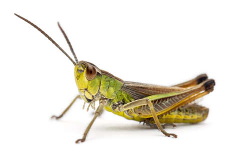 Grasshopper in front of white background photo