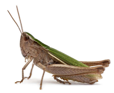 grasshoppers: Grasshopper in front of white background
