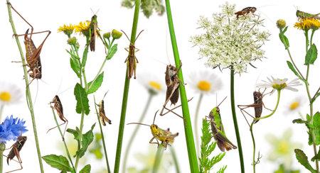 langosta: Composición de las zonas rurales de la langosta y el saltamontes en las flores, la hierba y otras plantas en frente de fondo blanco