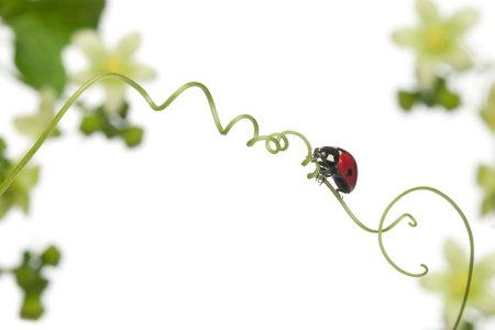 septempunctata: Seven-spot ladybird or seven-spot ladybug on Larger Bindweed, Coccinella septempunctata, in front of white background