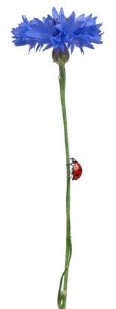 septempunctata: Seven-spot ladybird or seven-spot ladybug on Cornflower, Coccinella septempunctata, in front of white background