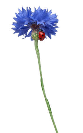 Seven-spot ladybird or seven-spot ladybug on Cornflower, Coccinella septempunctata, in front of white background photo