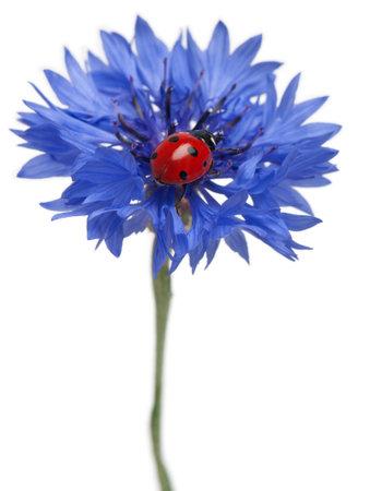 Cornflower: Seven-spot ladybird or seven-spot ladybug on Cornflower, Coccinella septempunctata, in front of white background