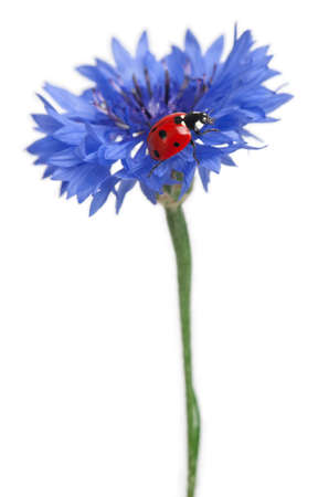coccinella: Seven-spot ladybird or seven-spot ladybug on Cornflower, Coccinella septempunctata, in front of white background