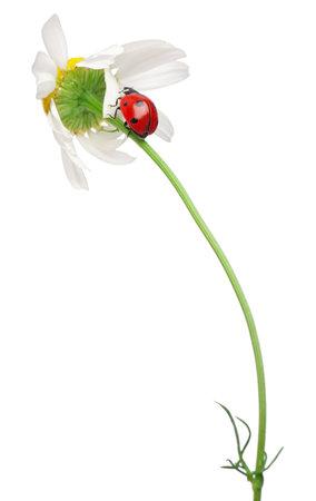 septempunctata: Seven-spot ladybird or seven-spot ladybug on a daisy, Coccinella septempunctata, in front of white background Stock Photo