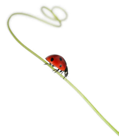 coccinella: Seven-spot ladybird or seven-spot ladybug on Larger Bindweed, Coccinella septempunctata, in front of white background