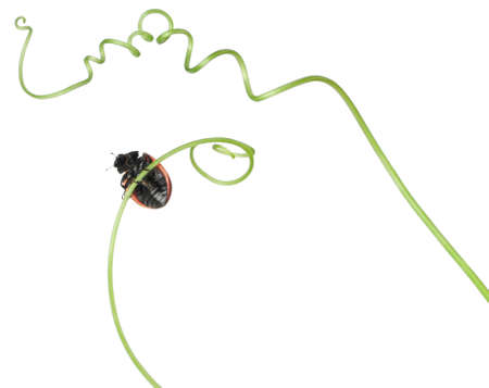 Seven-spot ladybird or seven-spot ladybug on Larger Bindweed, Coccinella septempunctata, in front of white background Stock Photo - 11187159