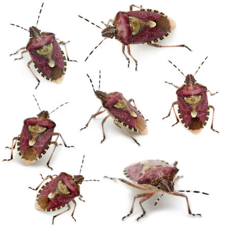 Collection of Shield bugs, Dolycoris baccarum, in front of white background photo