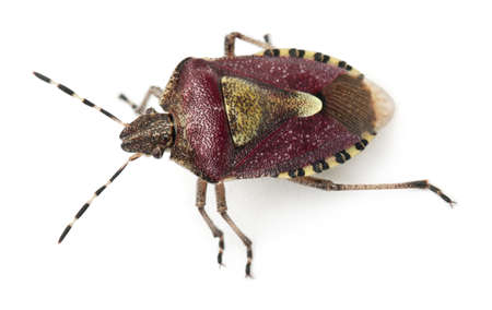 High angle view of Shield bug, Dolycoris baccarum, in front of white background photo