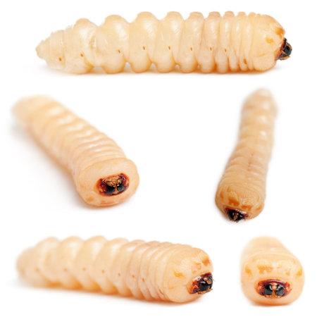 the larvae: Longhorned Beetle larvae, Cerambycidae Sp, in front of white background