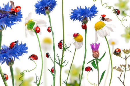 Seven-spot ladybird or seven-spot ladybugs on daisies, cornflowers and plants, Coccinella septempunctata, in front of white background photo