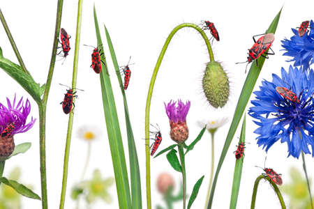 Collage of Scentless plant bugs, Corizus hyoscyami, on flowers, grass and plants in front of white background photo