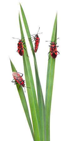 four species: Collage of Scentless plant bugs, Corizus hyoscyami, on leaves in front of white background