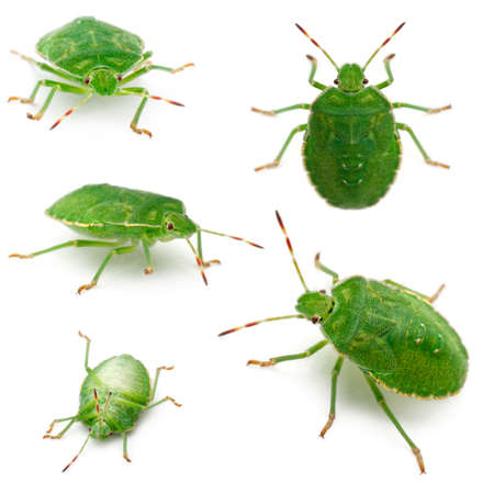 Green shield bugs, Palomena prasina, in front of white background photo